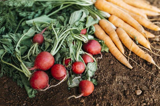 Carrots and radish, ecological freshly harvested — Stock Photo