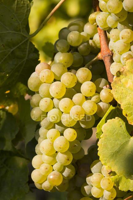 Weiße Trauben hängen am Weinstock im Abendlicht — Stockfoto