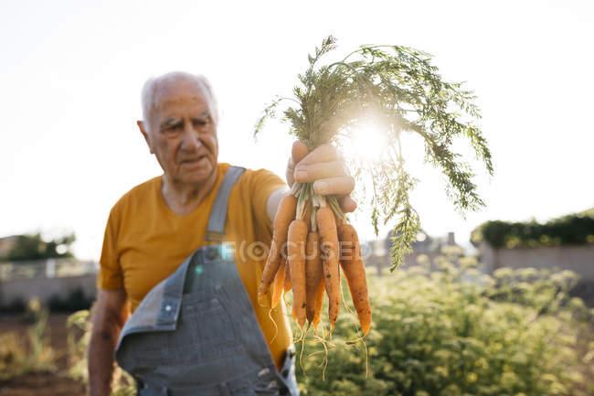 Senior man harvesting carrots in sunny garden — Stock Photo