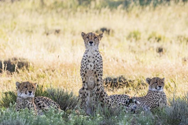 Botsuana, Parque transfronteiriço de Kgalagadi, chitas, Acinonyx jubatus — Fotografia de Stock
