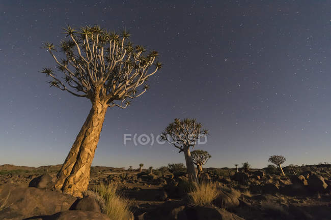 África, Namíbia, Keetmanshoop, Quiver Tree Forest e céu estrelado à noite — Fotografia de Stock