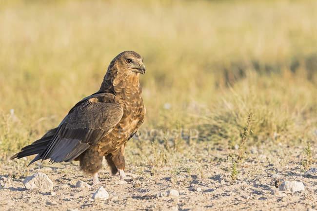 Botswana, Kgalagadi Transfrontier National Park, Mabuasehube Game Reserve, Bataleur eagle, young animal, Terathopius ecaudatus — Stock Photo