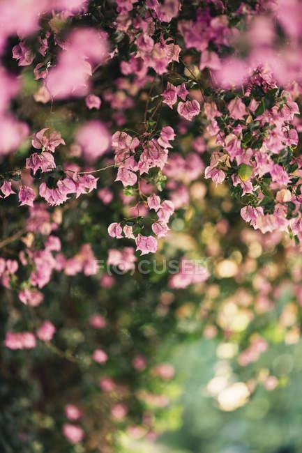 Детально про рожеві цвітіння в денний час — стокове фото