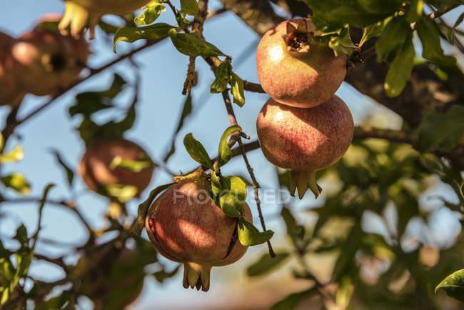 Italien, Toskana, reife Granatäpfel am Baum — Stockfoto