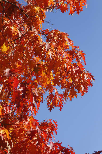 Oak tree, red oak leaves in autumn — Stock Photo
