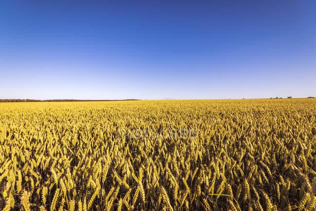 UK, Scotland, field of wheat — Stock Photo