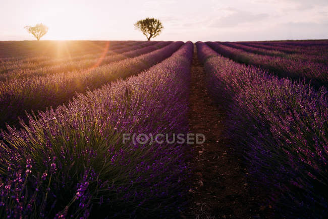 Francia, Alpes-de-Haute-Provence, Valensole, campo di lavanda al tramonto — Foto stock