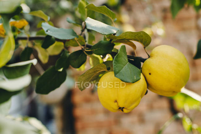 Ripe quinces at tree, close-up — Stock Photo
