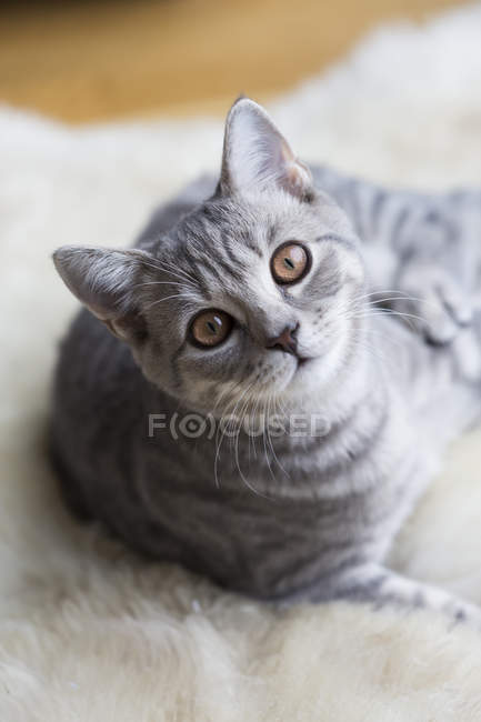 Portrait of tabby British shorthair kitten — Fotografia de Stock
