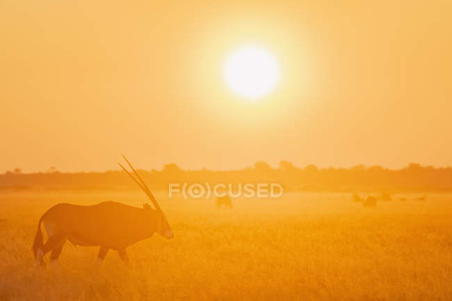 Botswana, Kalahari, Central Kalahari Game Reserve, Greater Kudu at sunrise, Tragelaphus strepsiceros — Stock Photo