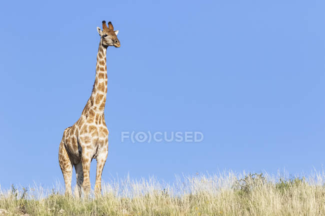 Africa, Botswana, Parco Transfrontaliero di Kgalagadi, Giraffa — Foto stock