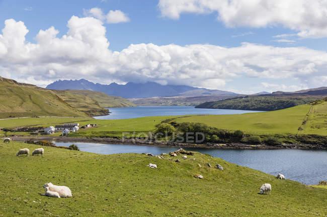Royaume-Uni, Écosse, Hébrides intérieures, île de Skye, Loch Harport, baie de Gesto, moutons dans les pâturages — Photo de stock