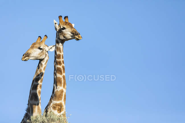 África, Botswana, Parque transfronteiriço de Kgalagadi, giraffes — Fotografia de Stock