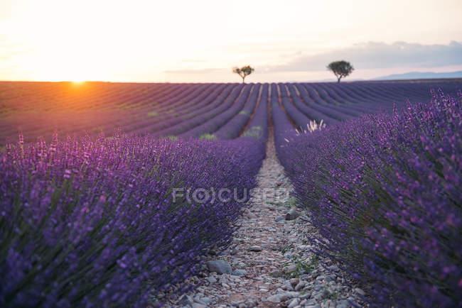 Франція, Альпи — Прованс, Валлоне, лаванда поле на заході сонця — стокове фото