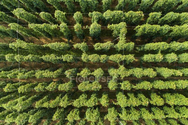 Сверху - Humulus lupulus — стоковое фото