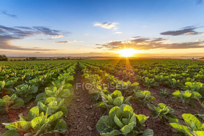 United KIngdom, East Lothian, field of brussels sprouts, Brassica oleracea, against the evening sun — Stock Photo