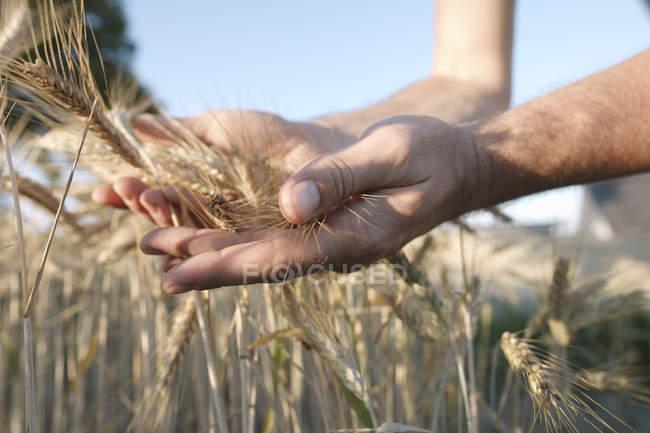 Man's hands holding wheat ears — Fotografia de Stock