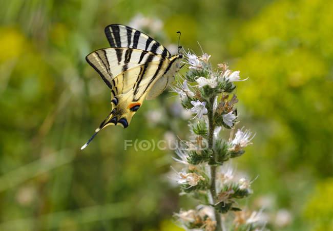 Албанія, Scarce swallowtail, iphiclides podalirius, на echium — стокове фото