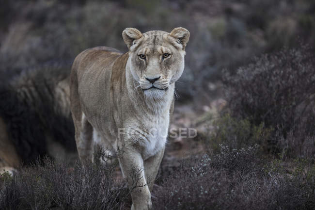 South Africa, Aquila Private Game Reserve, Lioness, Panthera leo — Stock Photo