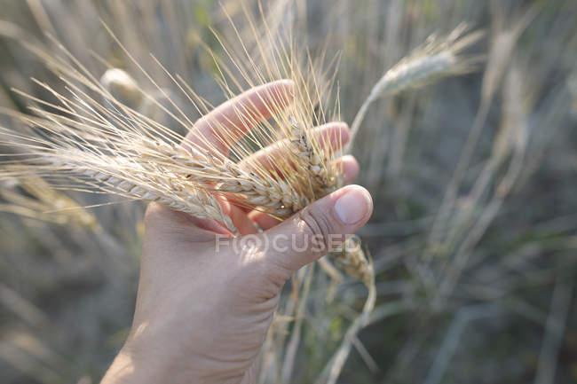 Orelhas tocante do trigo da mão da mulher — Fotografia de Stock