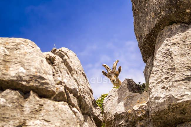 Spain, Malaga Province, El Torcal, Spanish wild goat — стокове фото