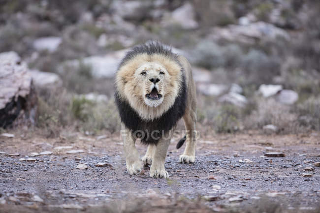 Südafrika, Aquila Private Game Reserve, Löwe, Panthera leo — Stockfoto