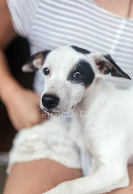 Portrait of puppy on girl's lap — Stock Photo