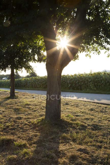 Arbre sur la route, champ de tournesol contre le soleil du soir — Photo de stock