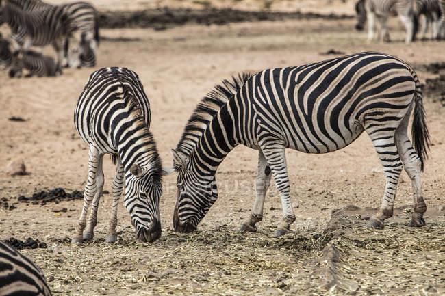 Південна Африка, Акіла приватний заповідник Ігри, зебр їжі, Equus quagga — стокове фото