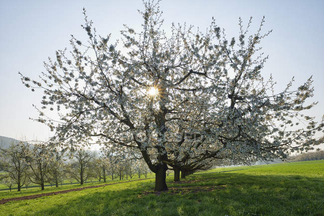 Switzerland, blossoming cherry trees on a meadow at backlight — Stock Photo