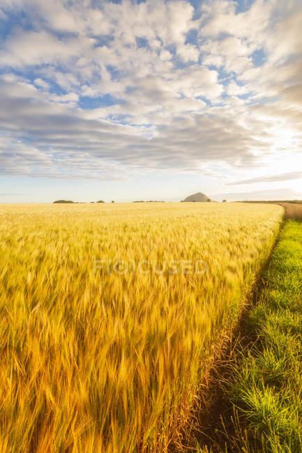 Regno Unito, East Lothian, Barley field, Hordeum vulgare — Foto stock