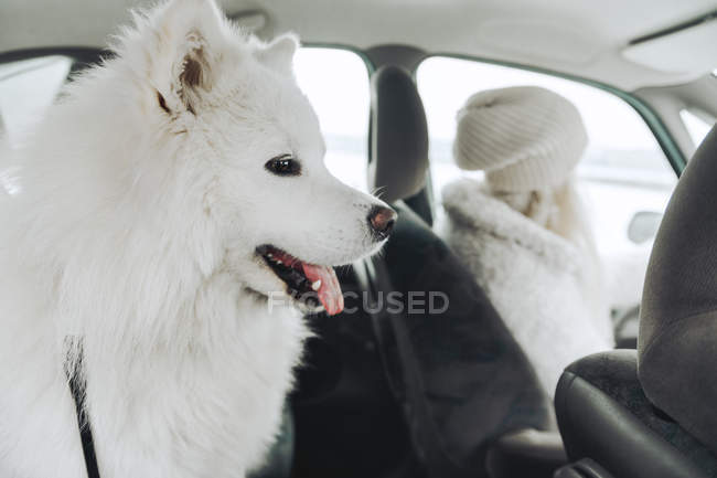 White dog in car with owner in the background — Stock Photo