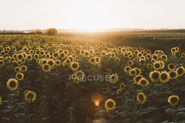 Field of blooming sunflowers at sunrise — Stock Photo