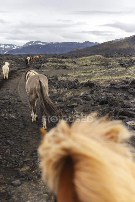 Iceland, Highlands of Iceland, Landmannalaugar, horseback riding. Icelandic horses, Fjallabak Nature Reserve — стокове фото
