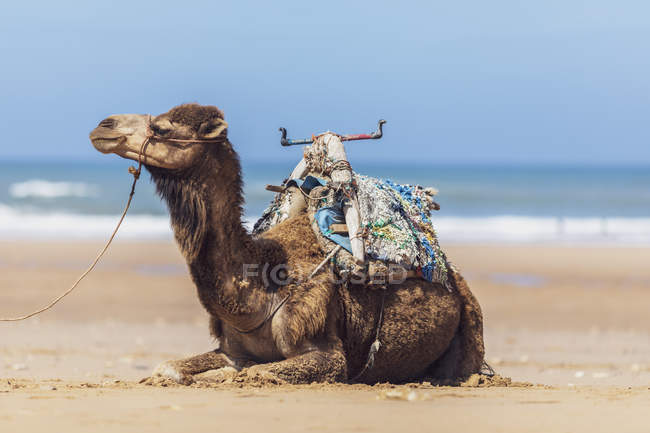 Morocco, camel lying at the beach — стоковое фото
