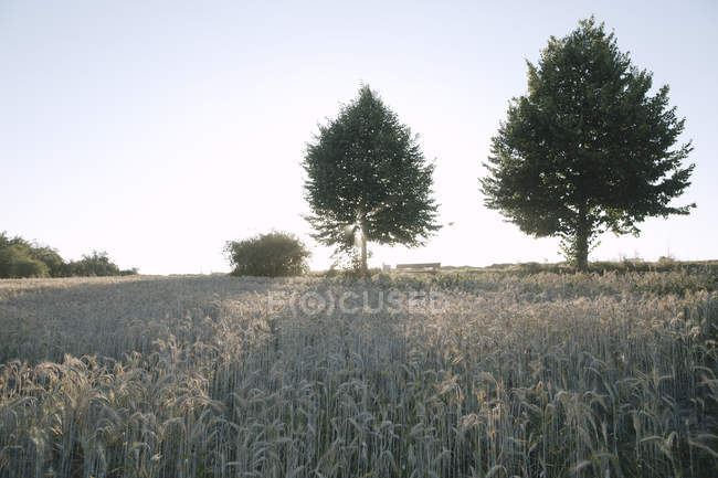 Germany, wheat field and trees at evening twilight — Stock Photo