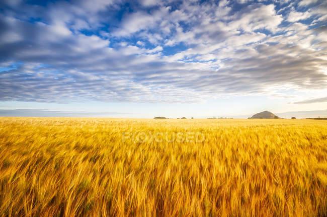 United KIngdom, East Lothian, Barley field, Hordeum vulgare — Stock Photo