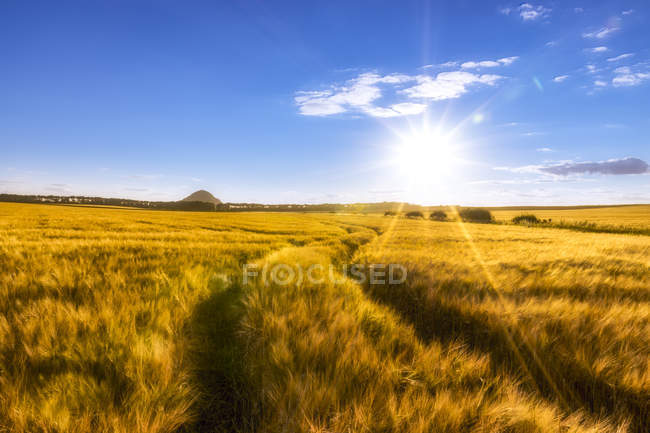 UK, Scotland, East Lothian, field of barley with tracks at sunset — Stock Photo