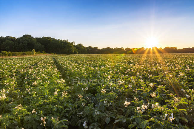UK, Scotland, East Lothian, potato field at sunset — Stock Photo