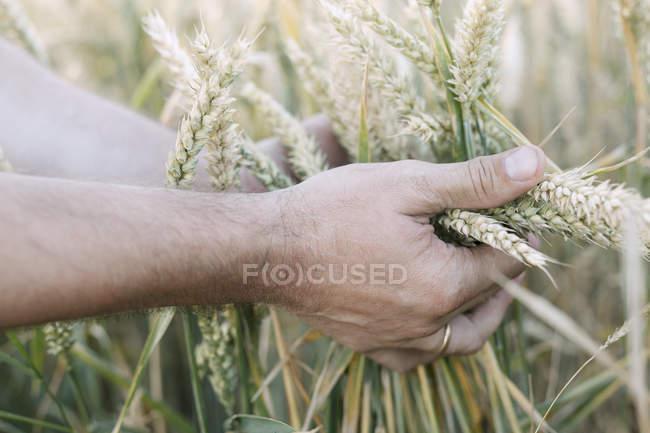 Man's hand holding unripe wheat ears — Fotografia de Stock