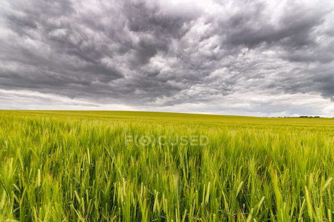 UK, Scotland, East Lothian, field of barley — Stock Photo