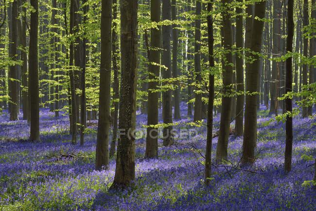 Bélgica, Brabante flamengo, Halle, Hallerbos, Bluebell flores, Hyacinthoides non-scripta, floresta de faia no início da primavera — Fotografia de Stock