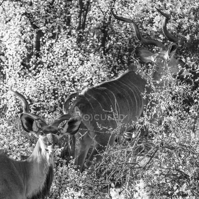 Sudafrica, Rooiberg, Greater kudus, Tragelaphus strepsiceros, bianco e nero — Foto stock