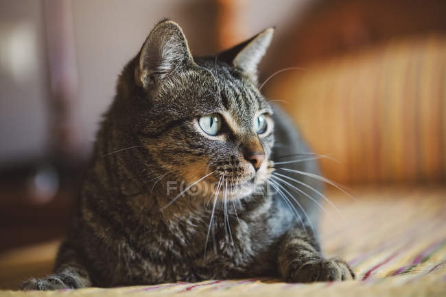Portrait of tabby cat at home — Stock Photo
