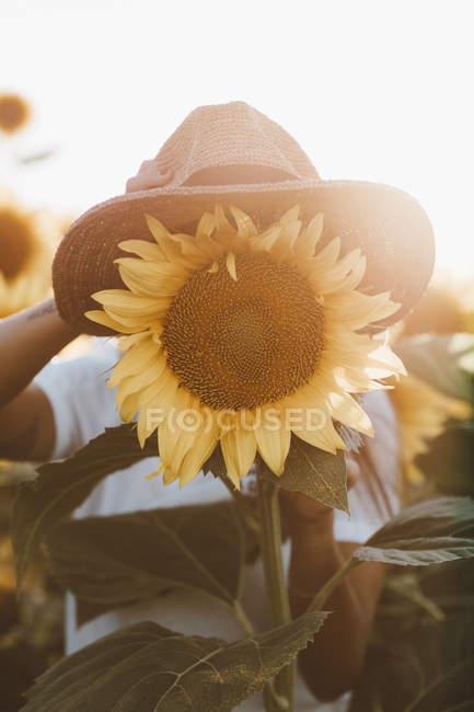 Женская рука заливки соломенной шляпе на подсолнечнике в поле — стоковое фото