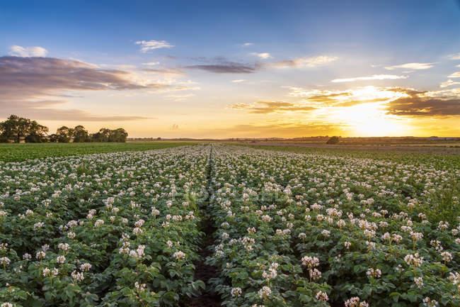 Royaume-Uni, East Lothian, champ de pommes de terre à fleurs, Solanum tuberosum, au coucher du soleil — Photo de stock