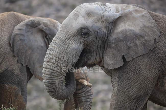 Sudáfrica, Aquila Private Game Reserve, Elefantes, Loxodonta Africana - foto de stock