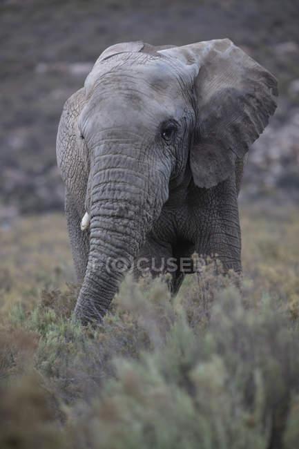 Afrique du Sud, Aquila Private Game Reserve, Elephant, Loxodonta Africana — Photo de stock