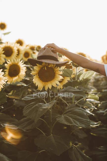 Chapeau de paille de mise en pot de main femelle sur tournesol dans le champ — Photo de stock