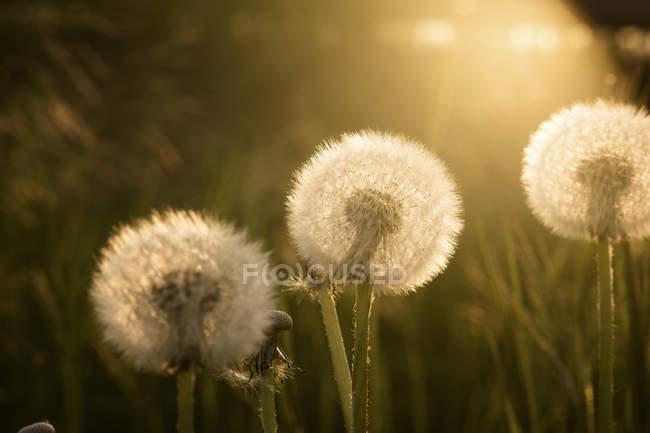 Одуванчики на лугу при солнечном свете — стоковое фото